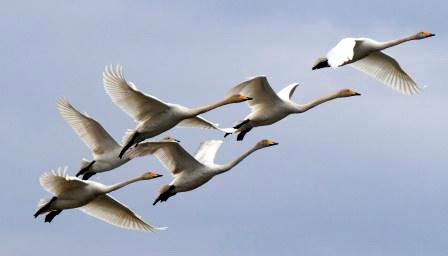 Лебеді - символ шляхетних людей, нових аріїв. Злітаймо!